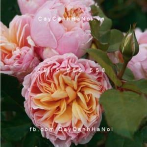 Hình ảnh hoa hồng Alexandrine Tree Rose