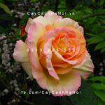 Hình ảnh hoa hồng Ambiance Tree Rose