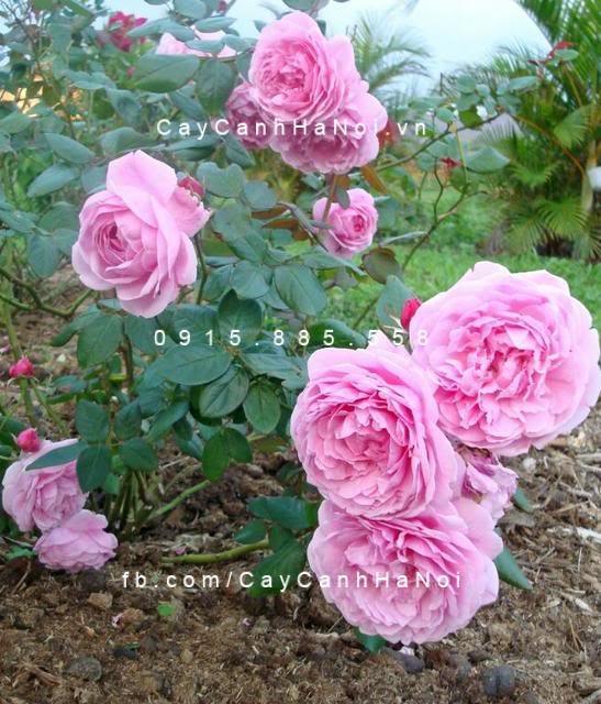 hoa-hong-bishops-castle-tree-rose (2)