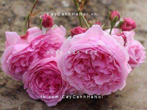 Hoa hồng Bishop Castle Tree Rose