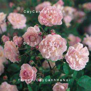 Hình ảnh hoa hồng Blush Noisette Tree Rose