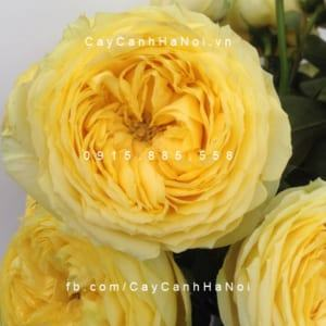 Hình ảnh hoa hồng Catalina Spray Tree Rose