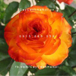 Hình ảnh hoa hồng Charisma Tree Rose