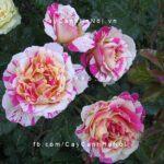 Hình ảnh hoa hồng Claude Monet Tree Rose