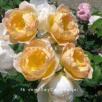 Hoa hồng Comtes de Champagne Tree Rose