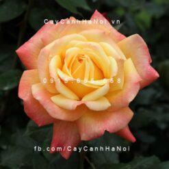 Hoa hồng Dame Elizabeth Murdock Tree Rose