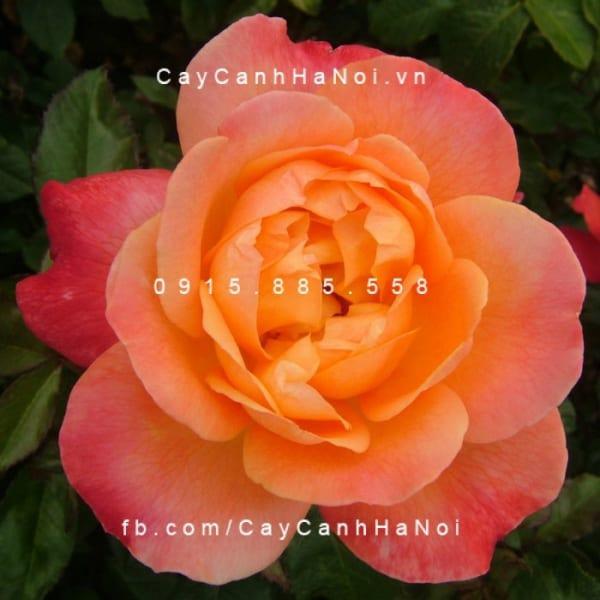 hoa-hong-dame-elisabeth-murdoch-tree-rose (2)