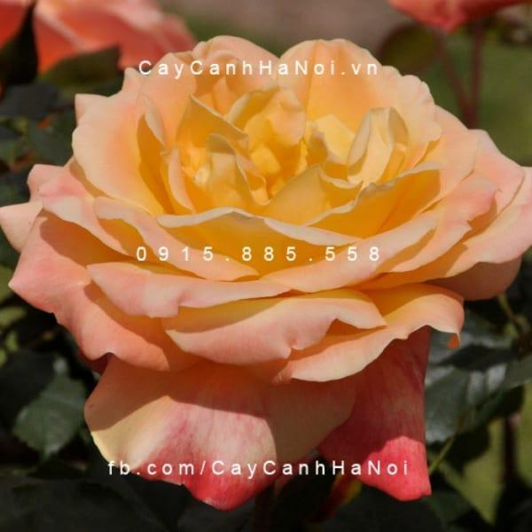 hoa-hong-dame-elisabeth-murdoch-tree-rose (3)