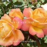 hoa-hong-dame-elisabeth-murdoch-tree-rose (4)