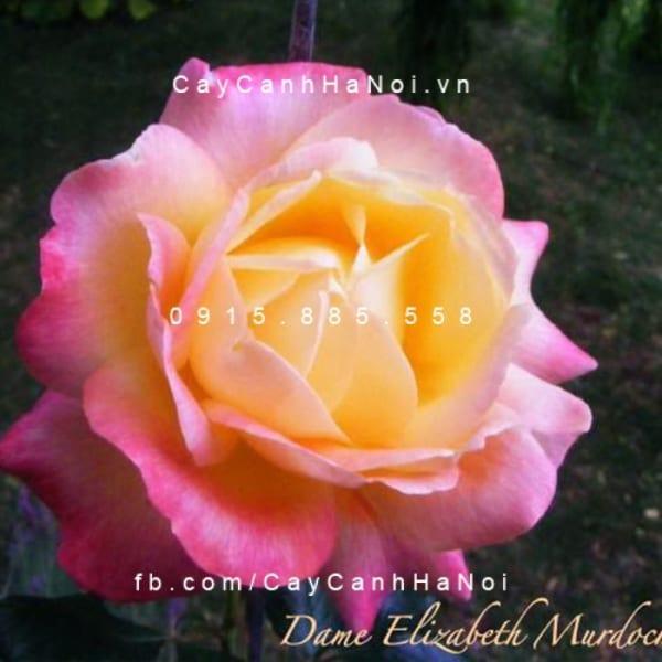 hoa-hong-dame-elisabeth-murdoch-tree-rose (5)