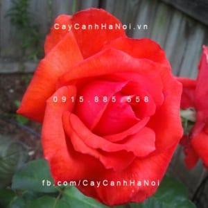 Hoa hồng Dolly Parton Tree Rose