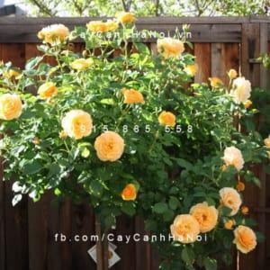 Hình ảnh hoa hồng Fair Tree Rose