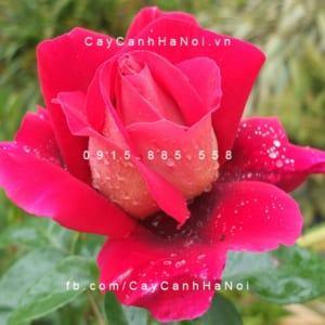 Hình ảnh hoa hồng Flaming Peace Tree Rose