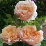 hoa-hong-ginger-syllabub-tree-rose (1)