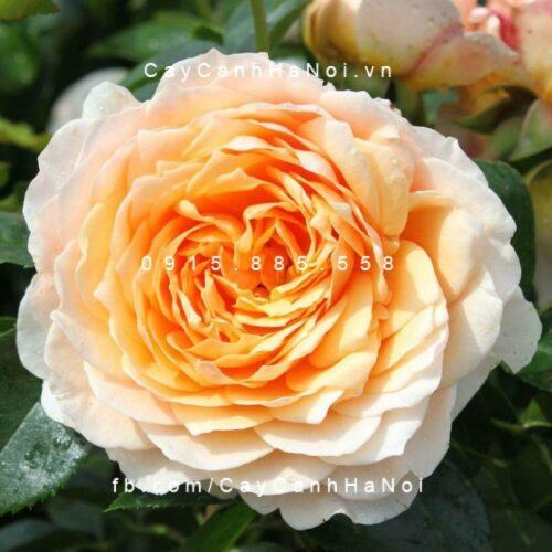 Hoa hồng Ginger Syllabub Tree Rose