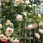 hoa-hong-ginger-syllabub-tree-rose (3)