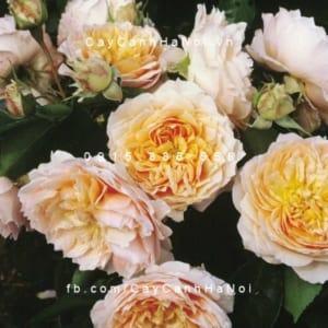 Hoa hồng Ginger Syllabub Tree Rose