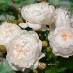 Hình ảnh hoa hồng Glamis Castle Tree Rose