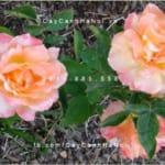 hoa-hong-grand-impression-tree-rose (1)