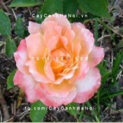 Hoa hồng Grand Impression Tree Rose