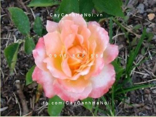 hoa-hong-grand-impression-tree-rose (2)
