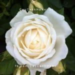 hoa-hong-guardian-angel-tree-rose (2)