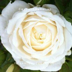 Hoa hồng Guardian Angel Tree Rose