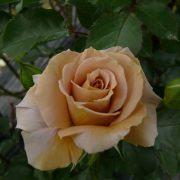 Hoa hồng Honey Dijon Tree Rose