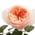 Hình ảnh hoa hồng Juliet Tree Rose