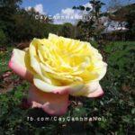 Hình ảnh hoa hồng Kordes Jubilee Tree Rose
