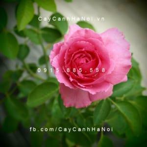 Hình ảnh hoa hồng Liv Tyler Tree Rose