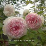 Hoa hồng Ngọc Lung Linh Tree Rose