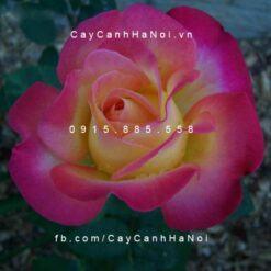 Hình ảnh hoa hồng Party Time Tree Rose