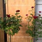 Hình ảnh hoa hồng Pinocchino Tree Rose