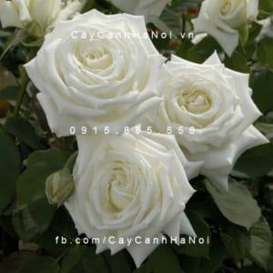Hình ảnh hoa hồng Pope John Paul II Tree Rose