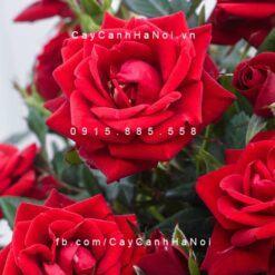 Hình ảnh hoa hồng Red Parade Tree Rose