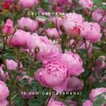 hoa-hong-skylark-tree-rose (1)