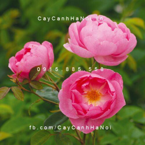 Hoa hồng Skylark Tree Rose