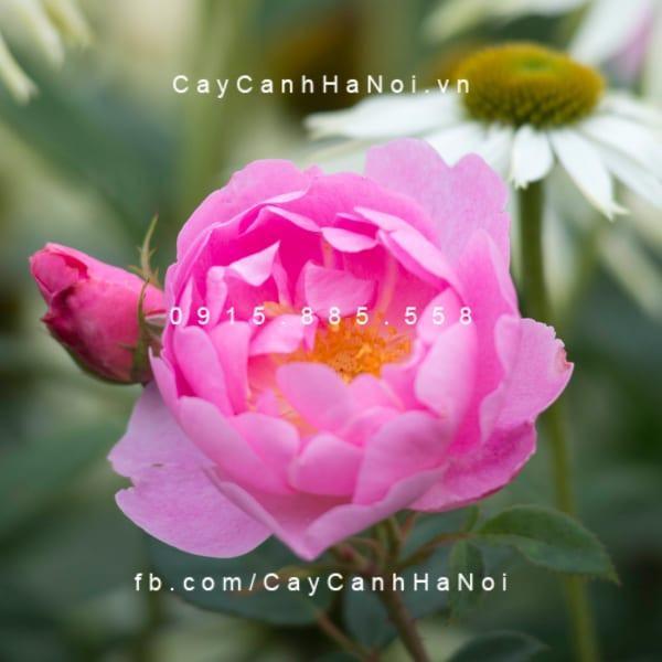 hoa-hong-skylark-tree-rose (3)