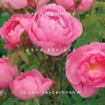 hoa-hong-skylark-tree-rose (4)