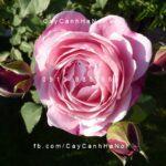 Hoa hồng Soeur Emmanuelle Tree Rose