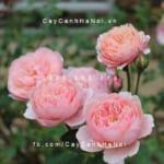 Hình ảnh hoa hồng The Alnwick Tree Rose