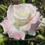 Hình ảnh hoa hồng Titanic Tree Rose