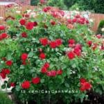 hoa-hong-traviata-tree-rose (2)