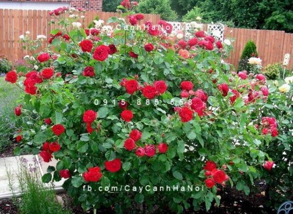 hoa-hong-traviata-tree-rose (2)