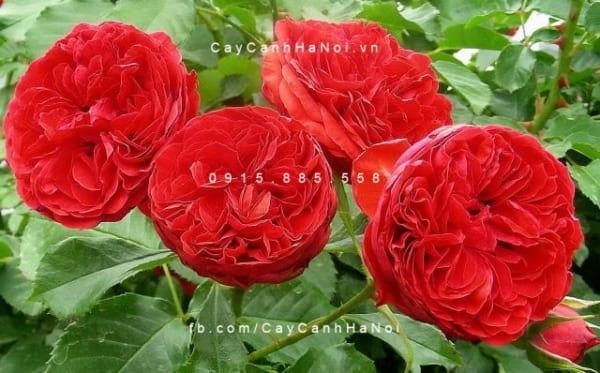 hoa-hong-traviata-tree-rose (3)