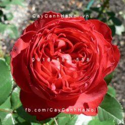 Hoa hồng Traviata Tree Rose