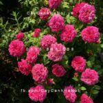 Hình ảnh hoa hồng William Shakespeare 2000 Tree Rose