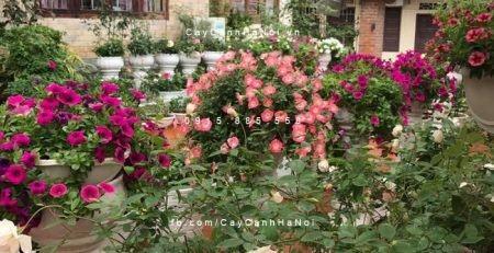 Cận cảnh cây hoa hồng leo trong sân vườn biệt thự