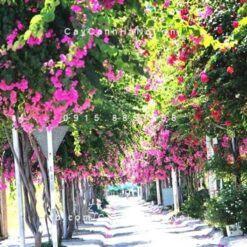 cây hoa giấy đẹp nhất việt nam